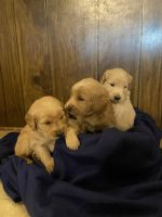 Goldendoodle Puppies for sale in Polk County, WI, USA. price: NA