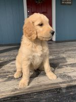 Goldendoodle Puppies for sale in Oakdale, CA 95361, USA. price: NA