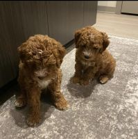 Goldendoodle Puppies for sale in Atlanta, GA, USA. price: NA