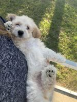 Goldendoodle Puppies for sale in Deltona, FL, USA. price: NA