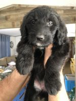 Goldendoodle Puppies for sale in Prairie Grove, AR 72753, USA. price: NA