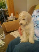 Goldendoodle Puppies for sale in Ottumwa, IA 52501, USA. price: NA