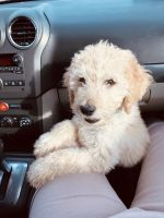 Goldendoodle Puppies for sale in Martinsville, IN 46151, USA. price: NA