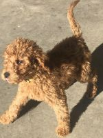 Goldendoodle Puppies for sale in Saginaw, TX, USA. price: NA