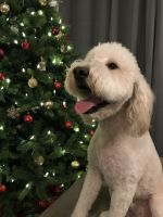 Goldendoodle Puppies for sale in Fredericksburg, VA 22401, USA. price: NA