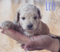 Goldendoodle Puppies for sale in Orem, UT, USA. price: NA