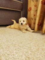 Goldendoodle Puppies for sale in Romeoville, IL, USA. price: NA