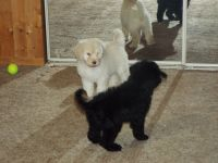Goldendoodle Puppies for sale in Vandalia, IL 62471, USA. price: NA