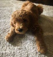 Goldendoodle Puppies for sale in Toccoa, GA, USA. price: NA