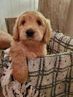 Goldendoodle Puppies for sale in Mullinville, KS 67109, USA. price: NA