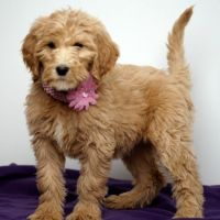 Goldendoodle Puppies for sale in McPherson, KS 67460, USA. price: NA