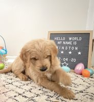 Goldendoodle Puppies for sale in Chicago, IL 60641, USA. price: NA