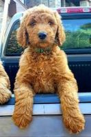 Goldendoodle Puppies for sale in California City, CA, USA. price: NA