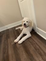 Goldendoodle Puppies for sale in Navarre, FL 32566, USA. price: NA
