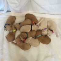 Goldendoodle Puppies for sale in Alum Bank, PA 15521, USA. price: NA