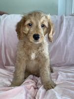 Goldendoodle Puppies for sale in Boise, ID, USA. price: NA
