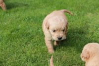 Goldendoodle Puppies for sale in Eugene, OR, USA. price: NA