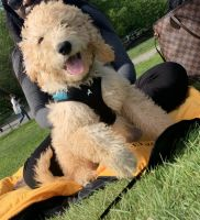 Goldendoodle Puppies for sale in The Bronx, NY, USA. price: NA