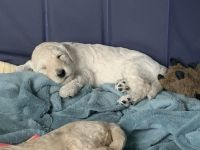 Goldendoodle Puppies for sale in Commerce City, CO, USA. price: NA