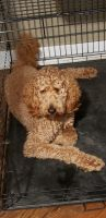 Goldendoodle Puppies for sale in Berwyn, IL 60402, USA. price: NA
