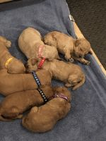 Goldendoodle Puppies for sale in Blue Earth, MN 56013, USA. price: NA