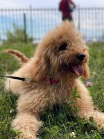 Goldendoodle Puppies for sale in Pompton Lakes, NJ, USA. price: NA