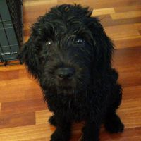 Goldendoodle Puppies for sale in Hoboken, NJ, USA. price: NA