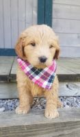 Goldendoodle Puppies for sale in Baltic, OH 43804, USA. price: NA