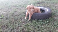 Goldendoodle Puppies for sale in 4184 Carmel Rd, Hillsboro, OH 45133, USA. price: NA