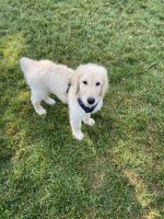 Goldendoodle Puppies for sale in Concord, NC, USA. price: NA