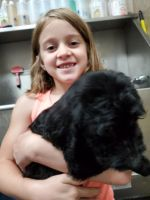 Goldendoodle Puppies for sale in Knoxville, TN, USA. price: NA
