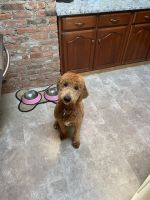 Goldendoodle Puppies for sale in Monmouth County, NJ, USA. price: NA