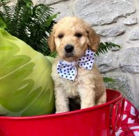 Goldendoodle Puppies for sale in Sharpsburg, GA 30277, USA. price: NA