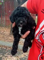Goldendoodle Puppies for sale in Vallejo, CA, USA. price: NA