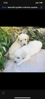 Goldendoodle Puppies for sale in Flint, MI, USA. price: NA
