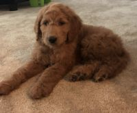 Goldendoodle Puppies for sale in Wexford, PA 15090, USA. price: NA