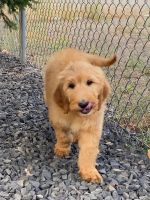 Goldendoodle Puppies for sale in Kenmore, WA, USA. price: NA