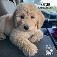 Goldendoodle Puppies for sale in Grand Junction, CO, USA. price: NA