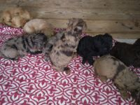 Goldendoodle Puppies for sale in Delta, PA 17314, USA. price: NA
