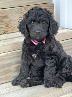 Goldendoodle Puppies for sale in Batavia, OH 45103, USA. price: NA