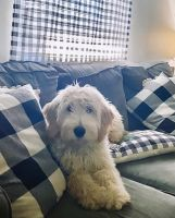 Goldendoodle Puppies for sale in Georgetown, KY 40324, USA. price: NA