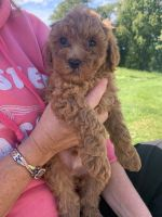 Goldendoodle Puppies for sale in Lowville, NY 13367, USA. price: NA