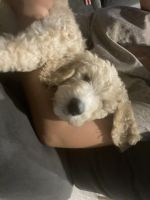 Goldendoodle Puppies for sale in Henderson, NV, USA. price: NA