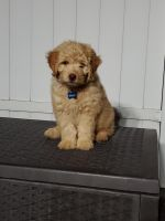 Goldendoodle Puppies for sale in Union, NJ, USA. price: NA