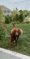 Goldendoodle Puppies for sale in Lemont, IL, USA. price: NA