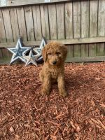 Goldendoodle Puppies for sale in Peabody, MA 01960, USA. price: NA