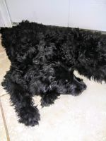 Goldendoodle Puppies for sale in Port St. Lucie, FL 34953, USA. price: NA