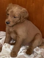 Goldendoodle Puppies for sale in Laramie, WY, USA. price: NA
