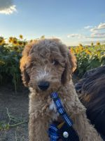 Goldendoodle Puppies for sale in Parkville, MD, USA. price: NA