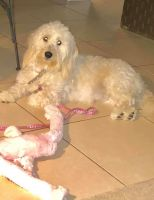 Goldendoodle Puppies for sale in Clearwater, FL, USA. price: NA